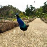 Chasing Peacock