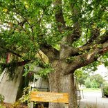 This Elm Tree was planted by William and Sarah Bowen to commemorate the birth of their triplet daughters, Sarah Faith, Louisa Hope and Grace Charity. Born 1905.