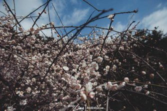 Cherry Blossom at Cheonjiyeon Waterfall