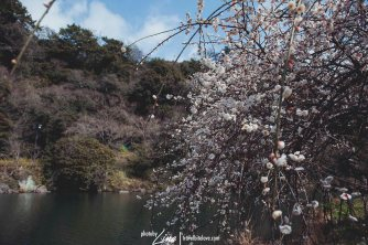 Cherry Blossom at Cheonjiyeon Waterfall