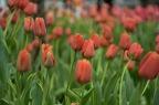 Tulipmania Inspired at Singapore