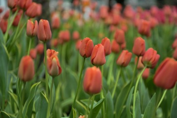 """French"" Single Late Tulips"