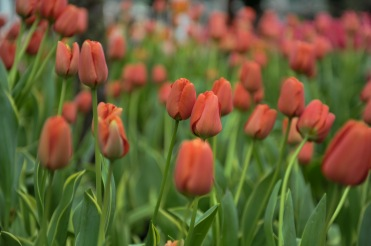 """""""French"""" Single Late Tulips"""