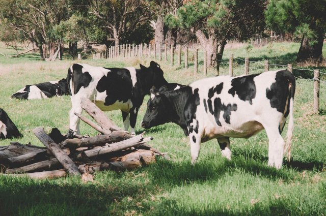 Australian's cow