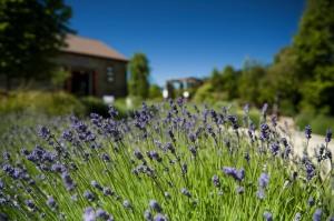 Wanaka lavender field